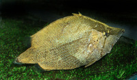 Monocirrhus polyacanthus, Amazon leaffish: aquarium