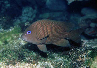 Microspathodon frontatus, Guinean damselfish: