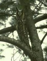 Image of: Asio otus (long-eared owl)