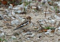 Image of: Plectrophenax nivalis (snow bunting)