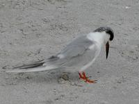 Image of: Sterna maxima (royal tern)