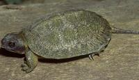 Image of: Clemmys insculpta (North American wood turtle)