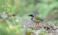Pitta-like Ground-Roller (Atelornis pittoides) photo