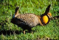 Greater Prairie-Chicken - Tympanuchus cupido