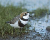 Two-banded Plover (Charadrius falklandicus) photo