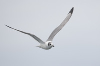 Franklin's Gull (Larus pipixcan) photo