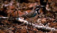 Long-tailed Ground-Roller - Uratelornis chimaera