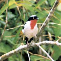 CHERRY-THROATED TANAGER, Nemosia rourei