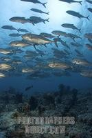 Bigeye jacks Caranx sexfasciatus , Maledives , Indian Ocean stock photo