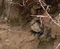 Ground tit Pseudopodoces humilis excavating burrow