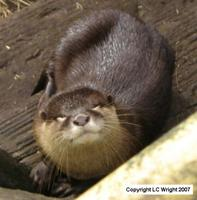 Asian Small-Clawed Otter. Copyright L.C. Wright
