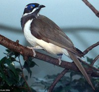 : Entomyzon cyanotis; Blue-faced Honeyeater