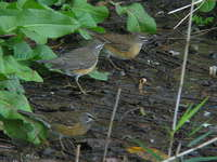Turdus obscurus Eye-browned Thrush マミチャジナイ