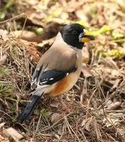 Yellow-billed Grosbeak » Eophona migratoria