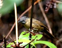 ハイノドモリチメドリ Grey-throated Babbler Stachyris nigriceps