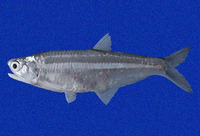 Anchoa mundeola, False Panama anchovy: