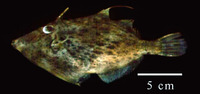 Stephanolepis setifer, Pygmy filefish: fisheries