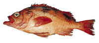 Sebastes crameri, Darkblotched rockfish: fisheries, gamefish