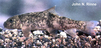Catostomus leopoldi, Bavispe sucker: