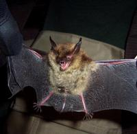 Image of: Myotis septentrionalis (northern long-eared myotis)