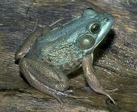 Image of: Rana clamitans (green frog)