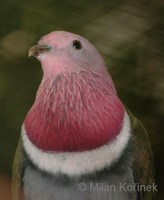 Ptilinopus porphyreus - Pink-headed Fruit-Dove