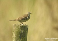 Anthus pratensis - Meadow Pipit