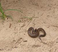 Image of: Vipera berus (adder)
