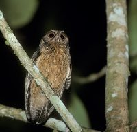 Tawny-bellied Screech-Owl (Otus watsonii) photo