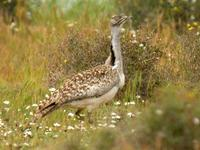 Houbara Bustard, El Jable Plains, Lanzarote, March 2006.