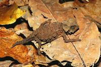 ...armoured dwarf chameleon (brookesia perarmata) madagascar. fotosearch - search stock photos, pic