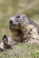 Alpine marmot ( Marmota marmota ) , cleaning , Hohe Tauern National Park , Austria stock photo