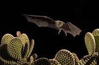 ...Lesser Long-nosed Bat ( Leptonycteris curasoae ) Endangered species Flying over Bunny Ear Cactus