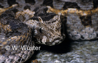 : Bitis worthingtoni; Kenya Horned Viper