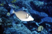 Sufflamen bursa, Boomerang triggerfish: fisheries, aquarium
