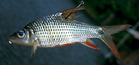 Cyclocheilichthys apogon, Beardless barb: fisheries, aquarium