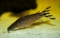 Dianema urostriatum, Flagtail catfish: aquarium