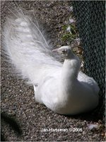 White Peafowl - Indian Peafowl White Mutation Pavo cristatus
