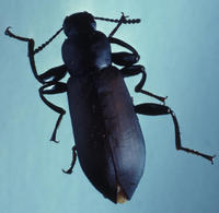 Image of: Carabidae (ground beetles)
