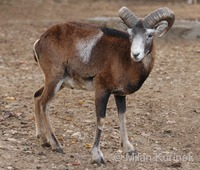 Ovis musimon - European Mouflon Sheep