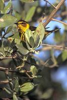 Image of: Dendroica tigrina (Cape May warbler)