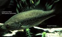 Image of: Micropterus salmoides (bigmouth bass)