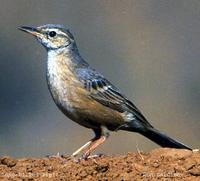 Long-billed Pipit - Anthus similis