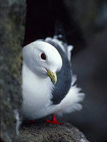 Red-legged Kittiwake (Rissa brevirostris) photo