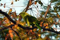 Yellow-naped Parrot - Amazona auropalliata