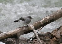 Torrent Tyrannulet - Serpophaga cinerea