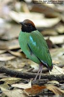 Hooded Pitta - Pitta sordida