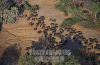 Herd of buffalo ( Syncerus caffer ) , Lower Zambezi National Park , Zambia stock photo