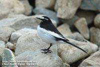 Fig. 12. Japanese Wagtail : 검은등할미새