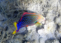 : Coris gaimard; Yellowtail Coris Wrasse